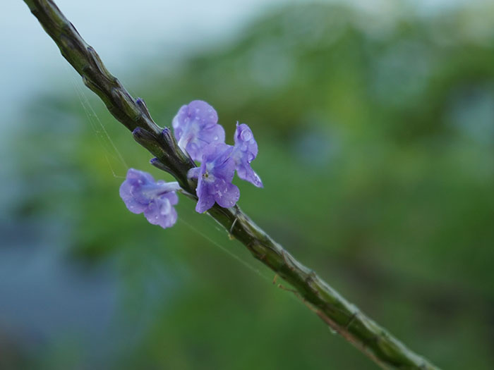 image of purple flower close up in the everglades
