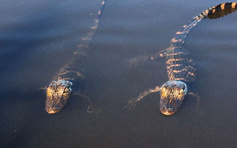 The Life of an Everglades Alligator