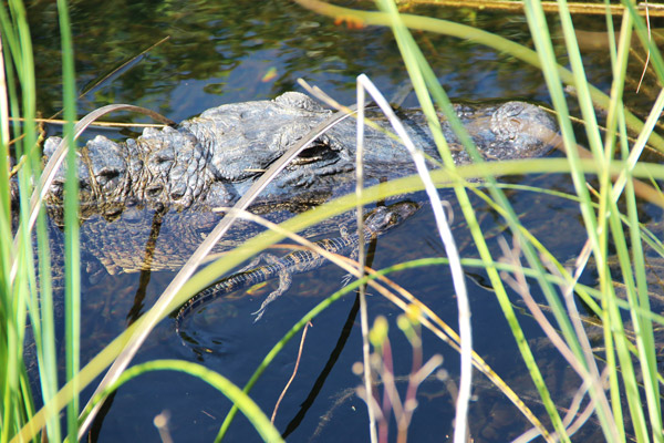 image of alligator and youngling through sawgrass