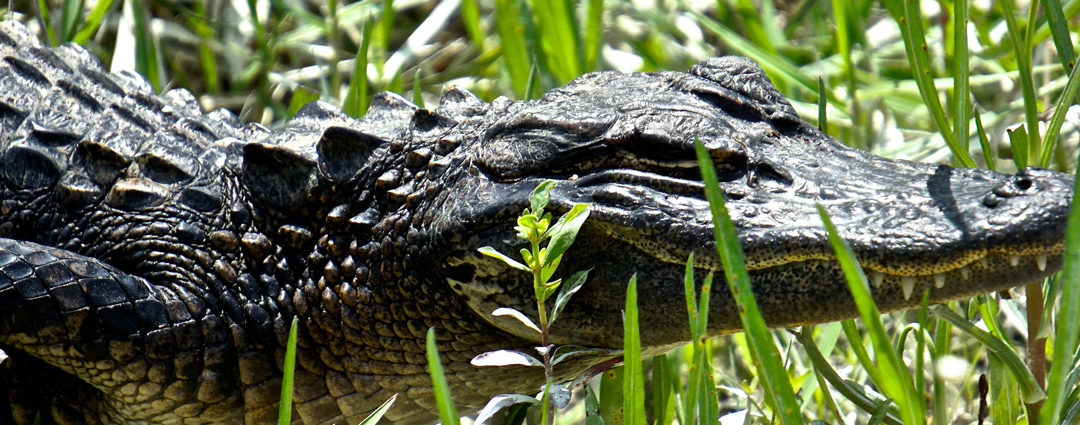Flora and Fauna You Might See on Your Everglades Tour