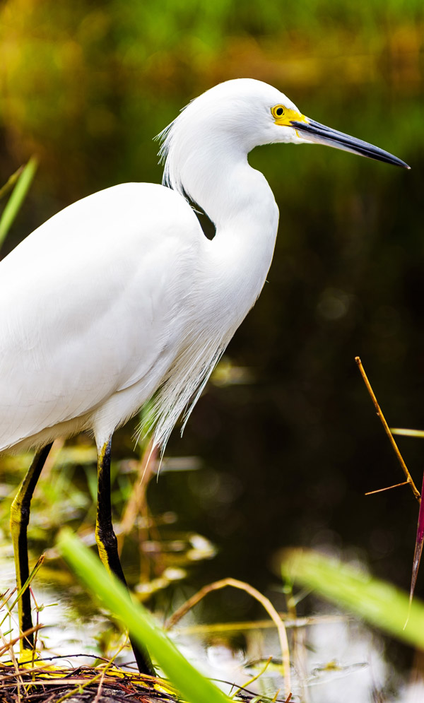 image of a great egret by the water in the Miami Everglades
