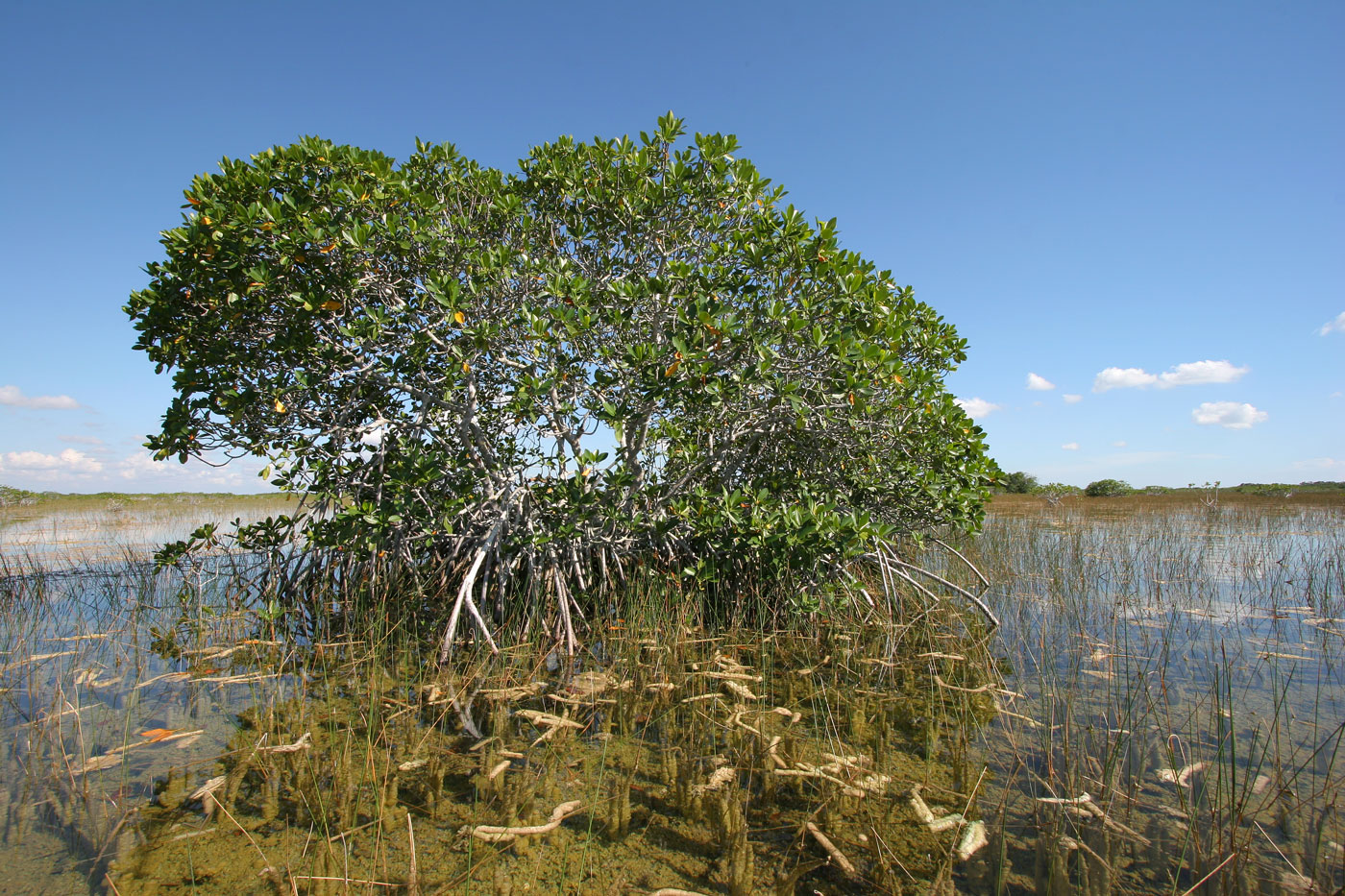 image of mangrove tree over a waterway in the everglades